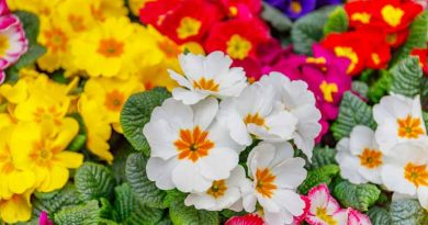 FREE primroses from Woolpit Nurseries